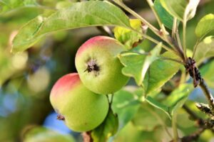 Apple fruit tree pruning to produce more fruit