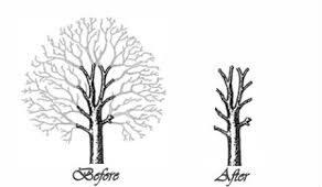 Tree Surgery Pollarding